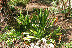 Balboa Park Zoro Garden (8071)