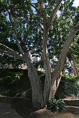 Balboa Park Zoro Garden - Fig Tree (8073)
