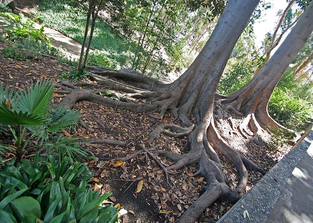 Balboa Park Zoro Garden - Fig Tree Roots (8078)