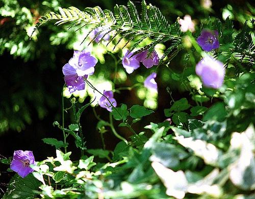 Quelques plantes d 39 ombre ou mi ombre - Plantes ombre exterieur nord ...