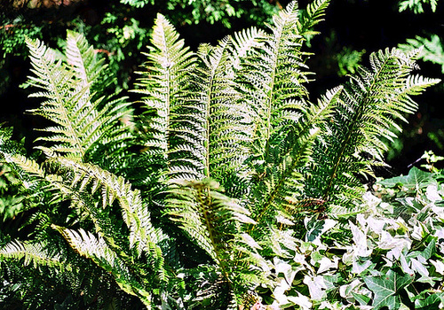 Polystichum (Aspidium) aculeatum- Fougère