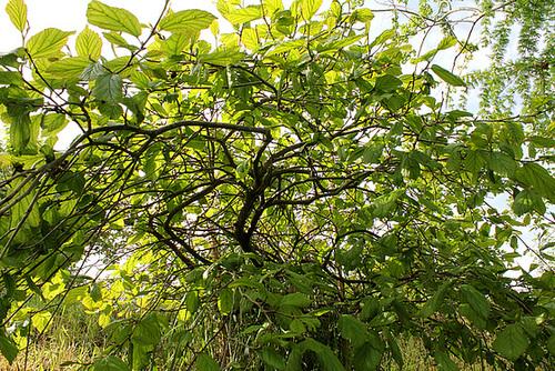 Parrotia persica pendula