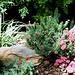 """rocaille avec Grevillea lanigera """"mount tamborithaa"""""""