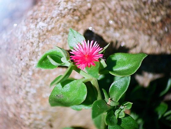 Aptenia cordifolia = Mesembryanthemum cordifolium 9761282.2c45e0f9.560