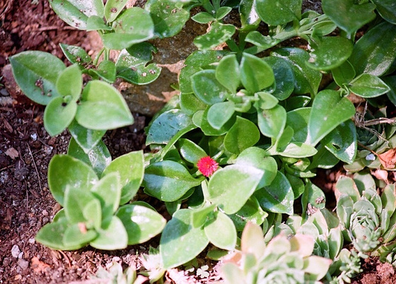 Aptenia cordifolia = Mesembryanthemum cordifolium 9761283.fc07ebed.560