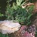 Grevillea lanigera Mount tamboritha