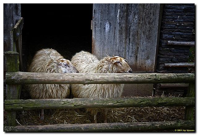 Haus aus Rohren, Schafe