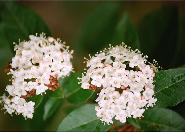 Viburnum tinus (2)