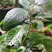 Fuchsia boliviana issu de semis