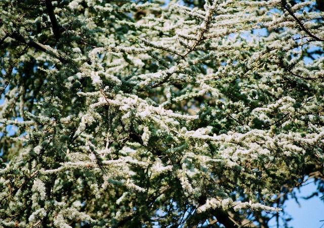 Cèdre atlantique-détail des branches