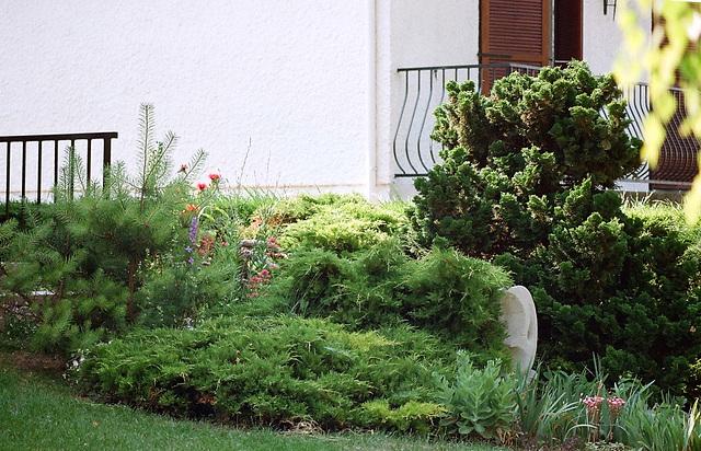 Conifères (Juniperus- pin-chamaecyparis