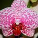 Phalaenopsis Wild thing
