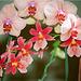 Phalaenopsis Balban's kaleidoscope et Odontoglossum
