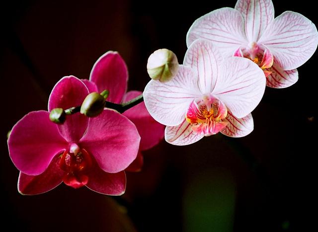 phalaenopsis hybrides
