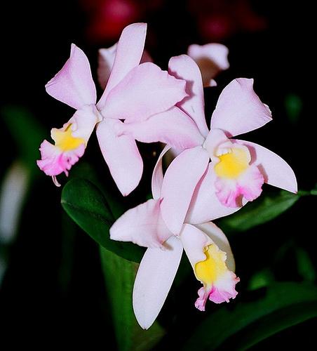 Laeliocattleya x claesiana