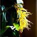 Brassia mivada
