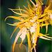 Brassia mivada (2)