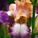 Iris Hinduh Magic