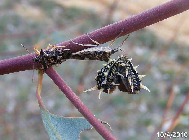 Spined Predatory Shield Bugs & Doratifera casta Caterpillar