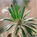 Pachypodium lameyrii