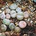 Lithops lesliei luteo viridis
