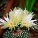 Notocactus werdermannianus