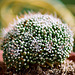 Mammillaria painteri forma mostruosa