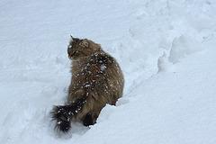 Chat des neiges