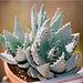 Aloes pegleari