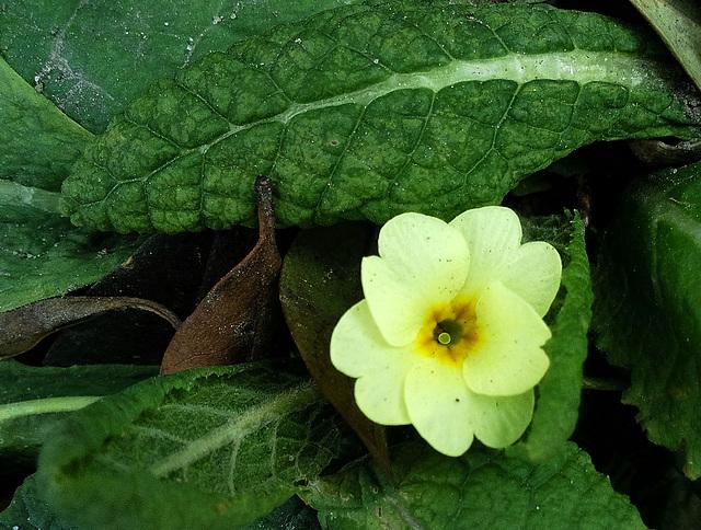 Diese kleine Blüte trotzt Wind, Regen, Schnee und eisigen Temperaturen :-)