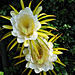 Twin Cereus..