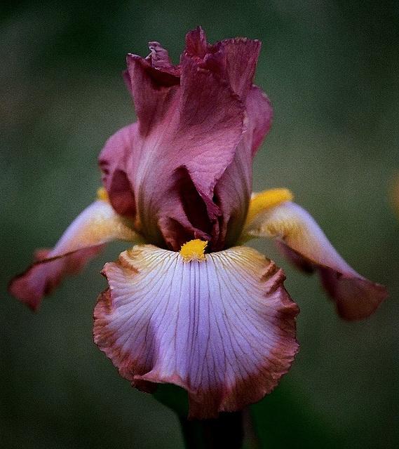 Iris Punchline