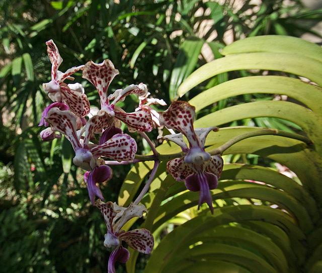Balboa Park Botanical Pavilion Orchid (8099)