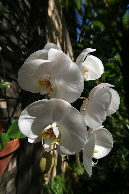 Balboa Park Botanical Pavilion Orchid (8111)