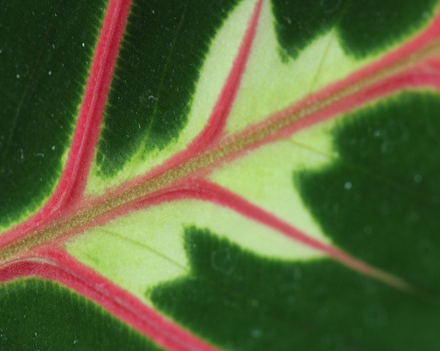 Maranta erythroneura-détail