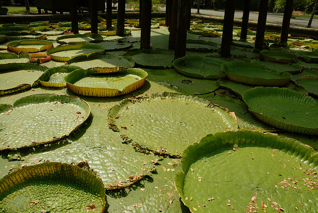 Lotus leafs at the water surface
