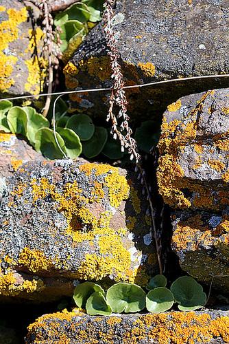 Umbilicus rupestris- crassulacées