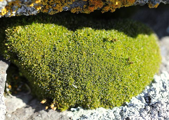 Grimmia pulvinata - Bryophyte