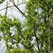 Salix babylonica (x salamonii = x sepulcralis) ' Crispa '
