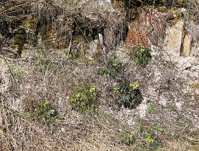 Talus à Helleborus foetidus