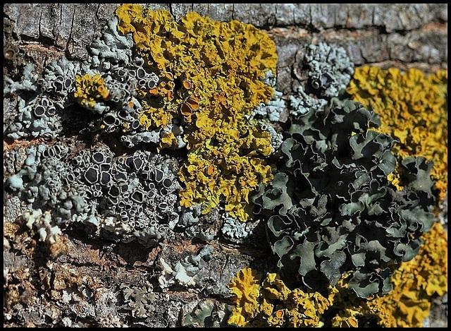 Lichens sur ecorce de frêne