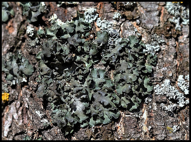 Parmelia acetabulum- Lichen