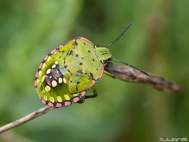 Nezara viridula Ninfa (Heteroptera: Pentatomidae).