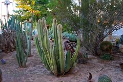 Cactus Garden at Pioneer Museum (8446)