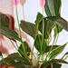 Anthurium hybride