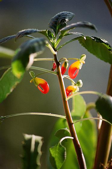 Impatiens niamniamensis - impatience de Zanzibar, bec-de-perroquet 9512405.f3a94ea4.560