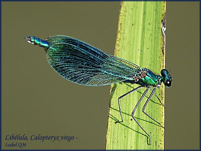 Libélula, Calopteryx virgo