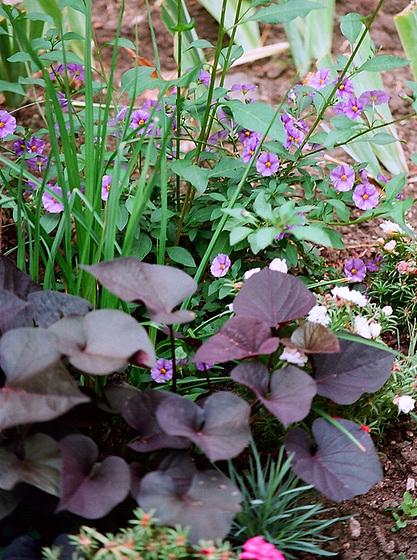 Solanum rantonnetii 9502622.832ac0dd.560