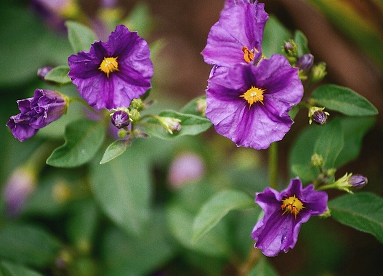 Solanum rantonnetii 9502631.fd300cfc.560