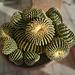 Echinocactus grusonii brevispina